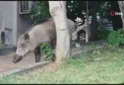 Yaban domuzu gündüz vakti şehre indi, vatandaş şaştı kaldı