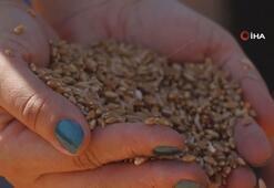 Samsunda karakılçık buğdayında ilk hasat yapıldı