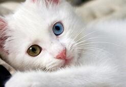 Kedi Cinsleri Ve İsimleri Nelerdir Kedilerin Türleri İle Özellikleri