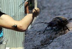 Tokatta geyik böceği bulundu