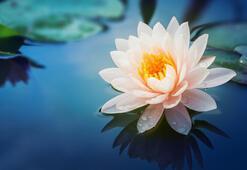 Lotus Çiçeği: Anlamı, Özellikleri Ve Faydaları Nelerdir Bakımı Nasıl Yapılır