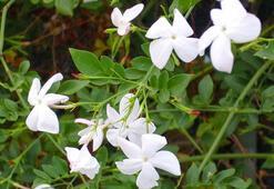 Yasemin Çiçeği: Anlamı, Özellikleri Ve Faydaları Nelerdir Bakımı Nasıl Yapılır