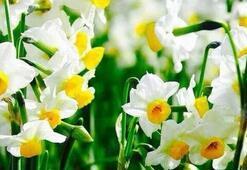 Nergis Çiçeği: Anlamı, Özellikleri Ve Faydaları Nelerdir Bakımı Nasıl Yapılır