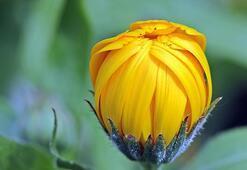 Kadife Çiçeği: Anlamı, Özellikleri Ve Faydaları Nelerdir Bakımı Nasıl Yapılır
