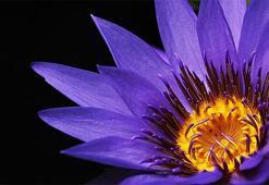 Nilüfer Çiçeği: Anlamı, Özellikleri Ve Faydaları Nelerdir Bakımı Nasıl Yapılır