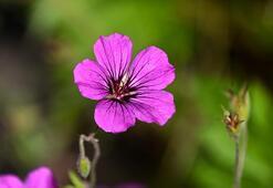 Sardunya Çiçeği: Anlamı, Özellikleri Ve Faydaları Nelerdir Bakımı Nasıl Yapılır