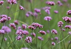 Mine Çiçeği: Anlamı, Özellikleri Ve Faydaları Nelerdir Bakımı Nasıl Yapılır