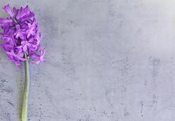 Sümbül Çiçeği: Anlamı, Özellikleri Ve Faydaları Nelerdir Bakımı Nasıl Yapılır