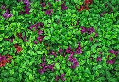 Açelya Çiçeği: Anlamı, Özellikleri Ve Faydaları Nelerdir Bakımı Nasıl Yapılır
