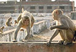 Maymunlar duvar yıktı: Beş ölü