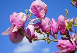 Manolya Çiçeği: Anlamı, Özellikleri Ve Faydaları Nelerdir Bakımı Nasıl Yapılır