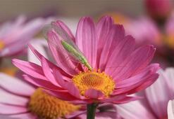 Kasımpatı Çiçeği: Anlamı, Özellikleri Ve Faydaları Nelerdir Bakımı Nasıl Yapılır