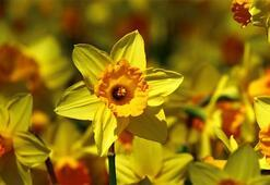 Nergiz Çiçeği: Anlamı, Özellikleri Ve Faydaları Nelerdir Bakımı Nasıl Yapılır