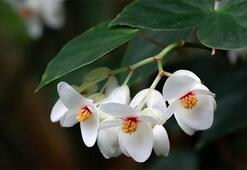 Begonya Çiçeği: Anlamı, Özellikleri Ve Faydaları Nelerdir Bakımı Nasıl Yapılır