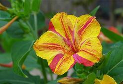 Akşam Sefası Çiçeği: Anlamı, Özellikleri Ve Faydaları Nelerdir Bakımı Nasıl Yapılır