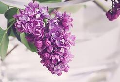 Leylak Çiçeği: Anlamı, Özellikleri Ve Faydaları Nelerdir Bakımı Nasıl Yapılır