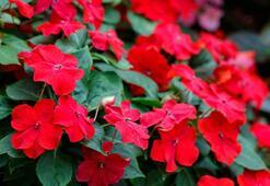 Cam Güzeli Çiçeği: Anlamı, Özellikleri Ve Faydaları Nelerdir Bakımı Nasıl Yapılır