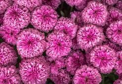 Krizantem Çiçeği: Anlamı, Özellikleri Ve Faydaları Nelerdir Bakımı Nasıl Yapılır