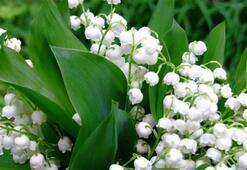Müge Çiçeği: Anlamı, Özellikleri Ve Faydaları Nelerdir Bakımı Nasıl Yapılır