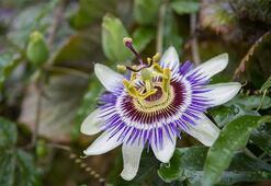 Çarkıfelek Çiçeği: Anlamı, Özellikleri Ve Faydaları Nelerdir Bakımı Nasıl Yapılır