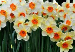 Fulya Çiçeği: Anlamı, Özellikleri Ve Faydaları Nelerdir Bakımı Nasıl Yapılır
