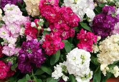 Şebboy Çiçeği: Anlamı, Özellikleri Ve Faydaları Nelerdir Bakımı Nasıl Yapılır