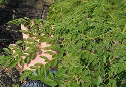 Moringa Bitkisi Nasıl Yetiştirilir, Nasıl Çoğaltılır Faydaları Ve Özellikleri Nelerdir