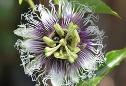 Passiflora, ünlülerin gözde meyvesi oldu