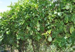 Ünlülerin yeni gözde meyvesi: Passiflora