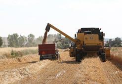 Milli tohum Hüseyinbey ile buğday verim rekoru kırıldı