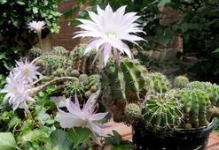 Kaktüs Türleri Ve Özellikleri Nelerdir Çiçek Açan, Dikenli, Dikensiz Kaktüs Çeşitleri