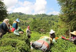 Çay Türleri Nelerdir Türkiyede Yetişen Çayların Çeşitleri Ve Özellikleri