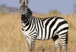 Z Harfi İle Başlayan Hayvan İsimleri Nelerdir Baş Harfi Z Olan Hayvanlar