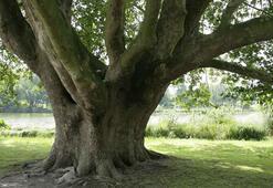 Ağaç Türleri Nelerdir Ülkemizde Yetişen Ağaç Çeşitleri Ve Özellikleri