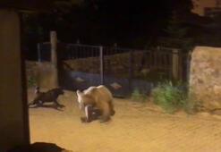 Boz ayı kaçtı, köpek kovaladı