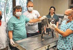 Samsunda alevlerin arasından kurtarılan pitbull tedavi ediliyor