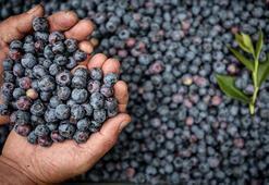 Batı Akdenizden yedi ayda yaklaşık 274 bin dolarlık yaban mersini ihracatı