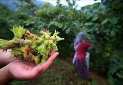 Trabzon ve Giresunda fındık hasat ve ihraç tarihleri belirlendi
