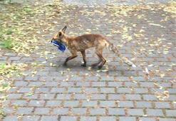 Berlinde kaybolan ayakkabıların sırrı çözüldü: Hırsız tilki