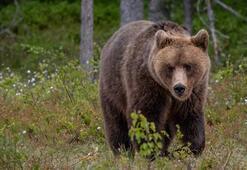 Kaçış ustası ayıya destek yağıyor: Bırakın, özgür olsun