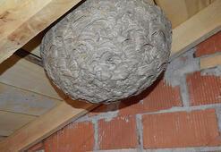 Kütahyada yaban arılarının çatı arasına yaptıkları dev yuva şaşırttı