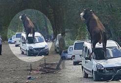 Kurbanlık boğa ürkünce park halindeki aracın üstüne çıktı