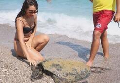 Antalyada yaralı caretta caretta sahile çıkarıldı