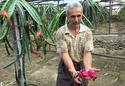 Ejder meyvesine üreticinin talebi artıyor