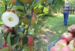 24 liralık elma