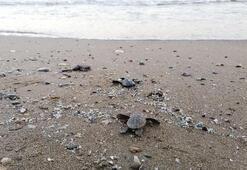Yuvadan çıkan deniz kaplumbağaları, denizle buluştu