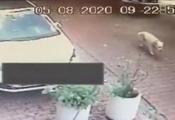 Vicdansız sürücü köpeği ezdi ve kaçtı