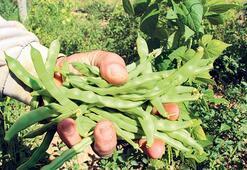 Boncuk fasulye hasadı başladı