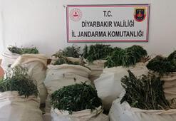 Diyarbakırda operasyon 975 bin kök kenevir ele geçirildi