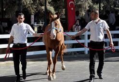 Safkan Arap tayları 3 milyon liraya satıldı